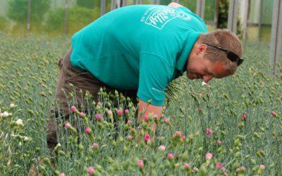 Bumper crop of scented pinks